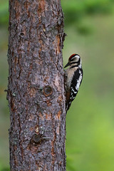 Young Great Spotted Woodpecker (Trond Strmme) Tags: woodpecker greatspottedwoodpecker hakkespett dendrocoposmajor spottedwoodpecker flaggspett sigma100300f4exdghsm