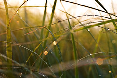 195/365 (local paparazzi) Tags: grass sunrise bug insect prime pod dof bokeh iso400 july blade manual madisonwi 2010 nikond2h catchycolorsgreen 50mmf2ai 365project danecountywisconsin localpaparazzi highwaypd redskyrocketman lopaps iceagestatetrail