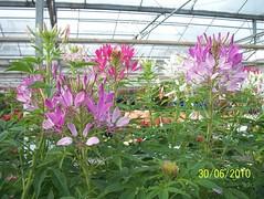 Cleome spinosa (wallygrom) Tags: england westsussex gardencentre gardencenter angmering cleome spiderflower cleomespinosa manornursery manornurseries