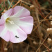island false bindweed - Photo (c) Philip Bouchard, some rights reserved (CC BY-NC-ND)