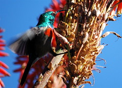 South Africa - Greater Double-collared sunbird (Celso Flores) Tags: africa panorama south fast du route ave pajaro sud mpumalanga sunbird afrique colibri sudafrica greaterdoublecollaredsunbird cinnyrisafer doublecollared