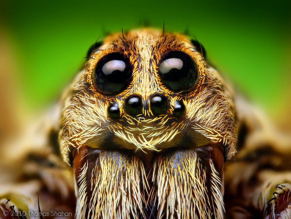 Spider close-up: Eye Arrangement of a Hogna Wolf Spider