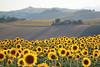 sunflowers forever (claudiophoto) Tags: nature landscape natura giallo sunflowers paesaggi marche girasoli mywinners worldwidelandscapes natureselegantshots thebestofmimamorsgroups greenpollenza
