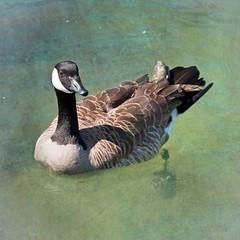 just ducky, uh, goosey? (Lois_WA) Tags: oregon geese nikon wildlife textures willametteriver d90 cathedralpark flypapertextures exposurenorthwest nikkor18105mmafsdxf3556gedvr riesepix