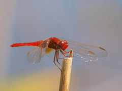 RED DRAGONFLY / LIBELULA ROSIE (Fraton) Tags: macro closeup insect iso400 olympus zuiko 70300 insecta e520