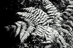 Lush (lenaville) Tags: fern nature forest bc victoria vancouverisland todinlet