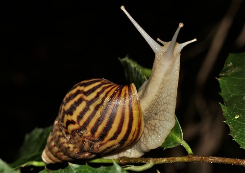 Big snail (Achatina sp.)