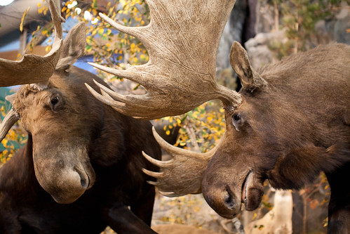 Elk battling