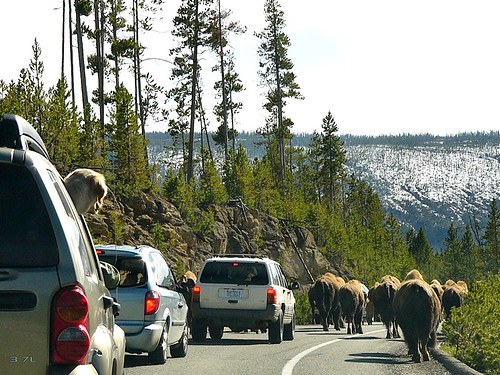 Yellowstone National Park 2005 - Buffalo jam