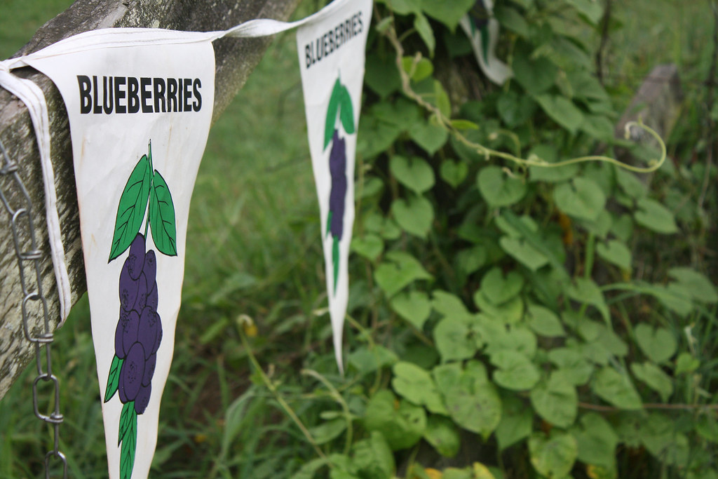blueberry bunting 3