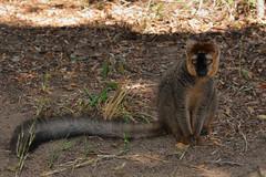 lémurien fulvus (antonikon) Tags: nature nikon wildlife lemur animaux madagascar lémurien madagasikara massifdisalo