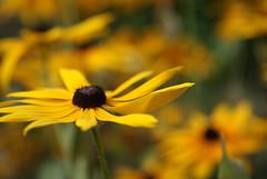 DSC09336 (Sarah Nardone) Tags: flower macro yellow closeup sony 300 alpha dslr blackeyedsusan sigma28dgmacrolens