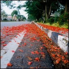 0000072 (alemershad™) Tags: flowers red flower 120 6x6 tlr film mediumformat kodak malaysia mf bunga indah negativescan yashica tanahmerah merah kelantan redland yashicamat124g filem alem twinlensereflex kodakektacolor vescan alemershad
