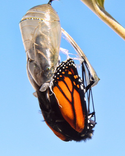 Monarch Life Cycle — 14 of 20 by SidPix, on Flickr