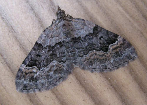 Large Twin-spot Carpet