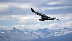 Cndor / Bariloche (Facu551) Tags: condor bariloche nahuelhuapi parquenacional cerrootto sancarlosdebariloche cndor vulturgryphus facundovital