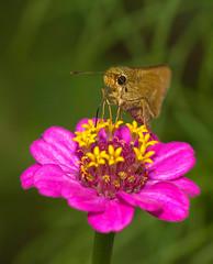 Straight Swift Facing Camera, Parnara guttata (aeschylus18917) Tags: pink flowers flower macro nature japan butterfly insect nikon skipper lepidoptera  swift zinnia  edit pxt 105mm insecta 105mmf28 hesperiidae zinniaelegans  asterales heliantheae  hesperioidea 105mmf28gvrmicro rhopalocera parnara parnaraguttata   d700 nikkor105mmf28gvrmicro  straightswift danielruyle aeschylus18917 danruyle druyle   commonstraightswift parnaraguttatta