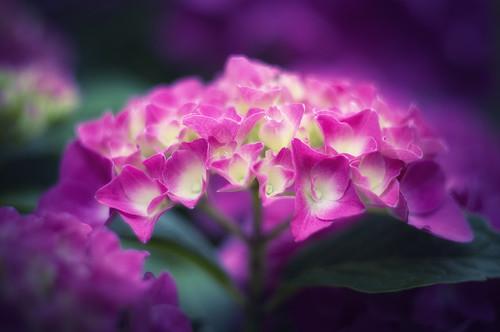 [フリー画像] 花・植物, アジサイ科, 紫陽花・アジサイ, ピンク色の花, 201007250700
