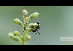 Hard Work!... (ramesh.rasaiyan) Tags: morning black macro green bokeh ant friday hardwork macrophotography flowerbuds canont1i canon100mmf28lisusm rameshrasaiyan