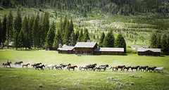 Running Wild, Across the Meadow (Stuck in Customs) Tags: world ranch travel wild horses usa mountain west field animals june digital america photography freedom clyde blog nationalpark high cowboy montana dynamic stuck united north meadow free running run processing western yellowstonenationalpark imaging states wyoming rancher across range plain hdr rolling tutorial trey stampede corral travelblog customs 2010 gallop foothill ratcliff rustle hdrtutorial stuckincustoms treyratcliff stuckincustomscom nikond3s