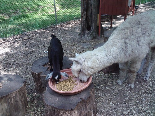 Baby goat and alpaca share a meal