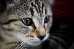 Baby hunter (horrigans) Tags: cat kitten poppy hunter 11weeks 149365