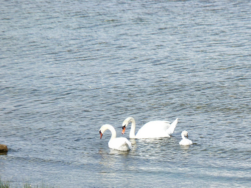 Family of Swans - Mackinaw City/St. Ignace, Michigan 2010