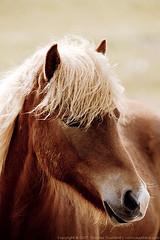 Horse (Thomas Suurland) Tags: horse iceland 2007 suurland thomassuurland