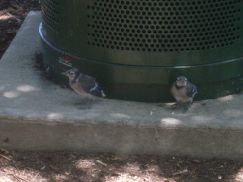 Fledgling Blue Jays