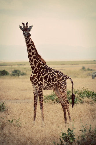 BrownGiraffee