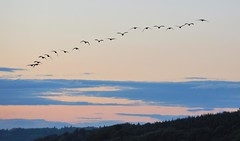Flock (MrHRdg) Tags: bird freeassociation reading flock goose calcot sulham nunhidelane