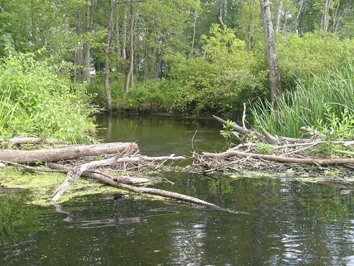 First beaver dam