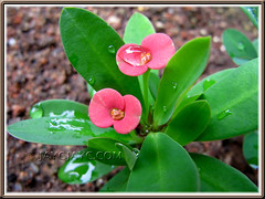 Red Dwarf Euphorbia milii: 1st flowering for this 10cm-tall seedling
