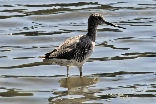 greater yellowlegs pocasset V