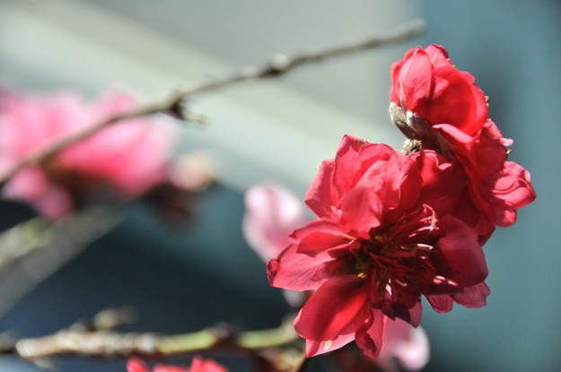 Cherry blossom 025