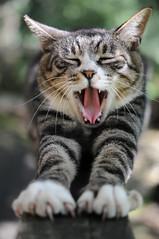 [フリー画像] 動物, 哺乳類, ネコ科, 猫・ネコ, 背伸び・ストレッチ, 欠伸・あくび, 201011261700