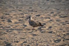 American Herring Gull (thoth1618) Tags: nyc newyorkcity ny newyork bird beach brooklyn coneyisland gull boardwalk coneyislandboardwalk herringgull brooklynny coneyislandbeach coneyislandbrooklyn americanherringgull larussmithsonianus brooklynusa lsmithsonianus coneyislandbeachandboardwalk