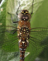 Female Migrant Hawker (Ewan JP) Tags: female garden insect pond dragonfly odonata anisoptera migranthawker