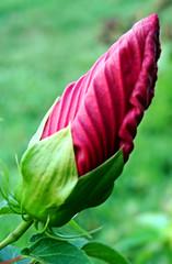 almost ready (bdaryle) Tags: pink flower macro nature closeup sony flor bud brandondaryle bdaryle imagesbybrandon