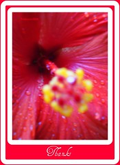 Wisdom is like a baobab tree, no one individual can embrace it (Trinimusic2008 - stay blessed) Tags: red flower macro nature wet thanks petals drops close hibiscus stamen raindrops mygarden trinimusic2008 myhibiscusplant