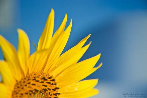 Floarea soarelui-floarea mamei