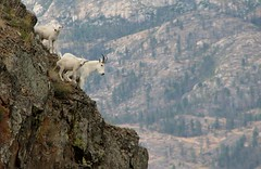 mountain-goat-family