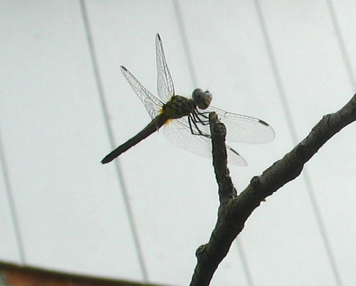 nature notes dragonfly an IMG_2968b