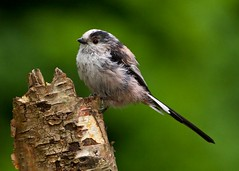 long tailed tit  (EXPLORED) (blackfox wildlife & nature imaging) Tags: nature birds canon wildlife 5star longtailedtit northwales 40d 400mml