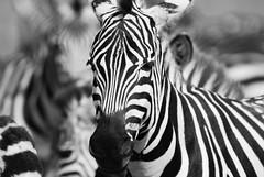 Black & White (JustinJensen) Tags: life africa wild white black tanzania stripes wildlife safari zebra portfolio serengeti 2007 eastafrica flickraward flickraward5 photocontesttnc10 flickrawardgallery