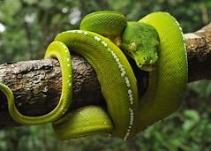 Green Tree Python (Morelia viridis) (reptile street photographer) Tags: york iron australia cape np range