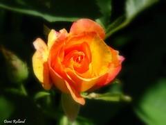 Amour ... (Domi Rolland ) Tags: france nature fleur rose europe jardin millau aveyron midipyrénées top20spring