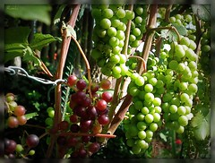 We need  sun! (ruschi_e) Tags: red white schweiz switzerland wine grapes wein trauben ruschie