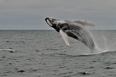 DSC_3541      3.0k (ChanHawkins) Tags: newfoundland stjohns whales humpback baybulls flickrsbest overtheexcellence chanhawkins