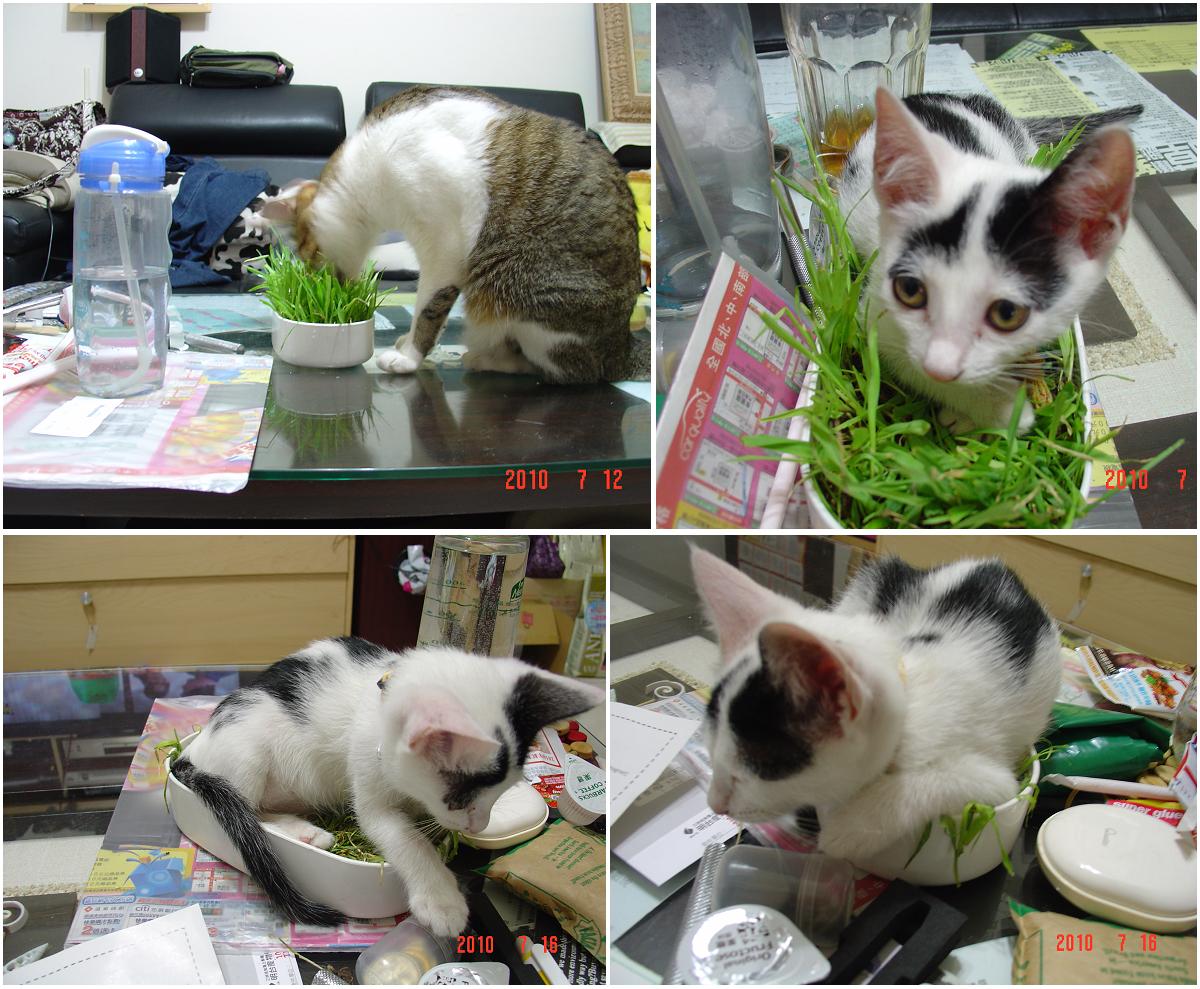 20100716-貓草的用途
